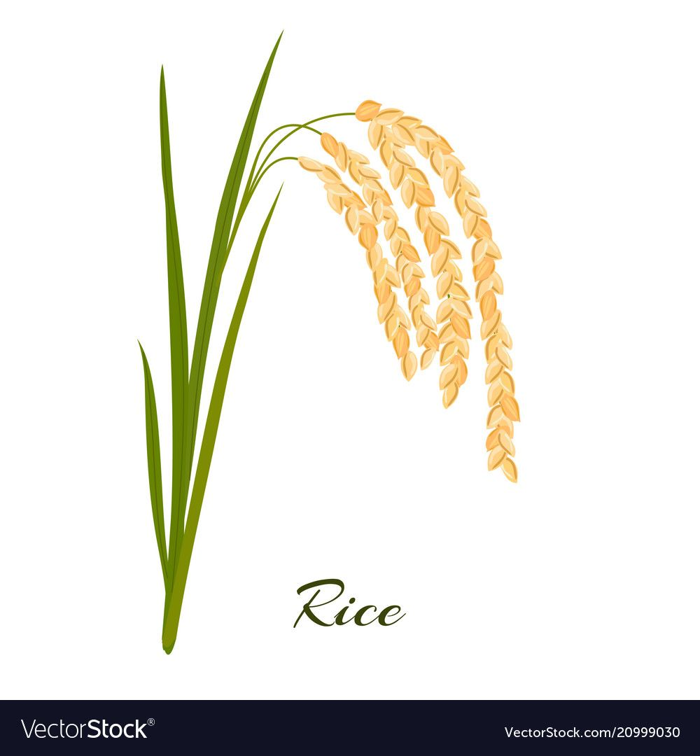 Rice Leaves Spikelets And Seeds On A White Vector Image On ม