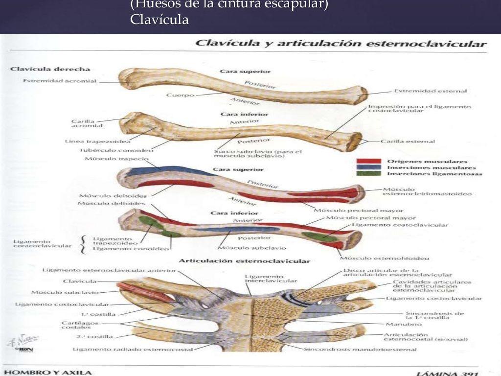 Huesos de la cintura escapular) Clavícula | Anatomía para el ...