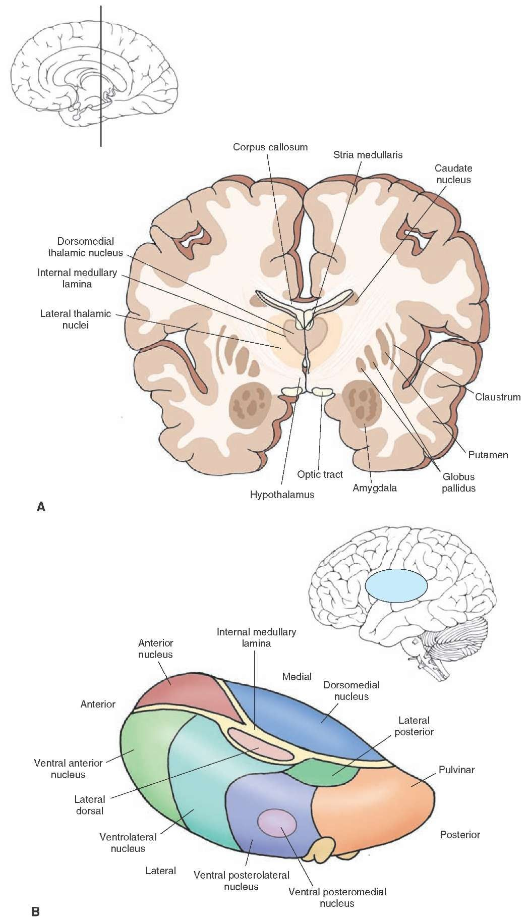 Arrangement of thalamic nuclei. (A) Cross section of the brain taken ...
