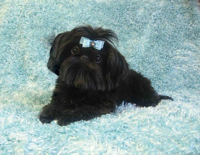 Black Shih Tzu Puppies Shih Tzu Black Shih Tzu Shih Tzu Puppy