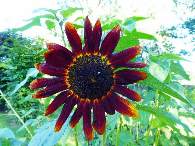 Sunflower, september 2014.