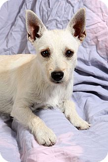 St Louis Mo Westie West Highland White Terrier Chihuahua Mix