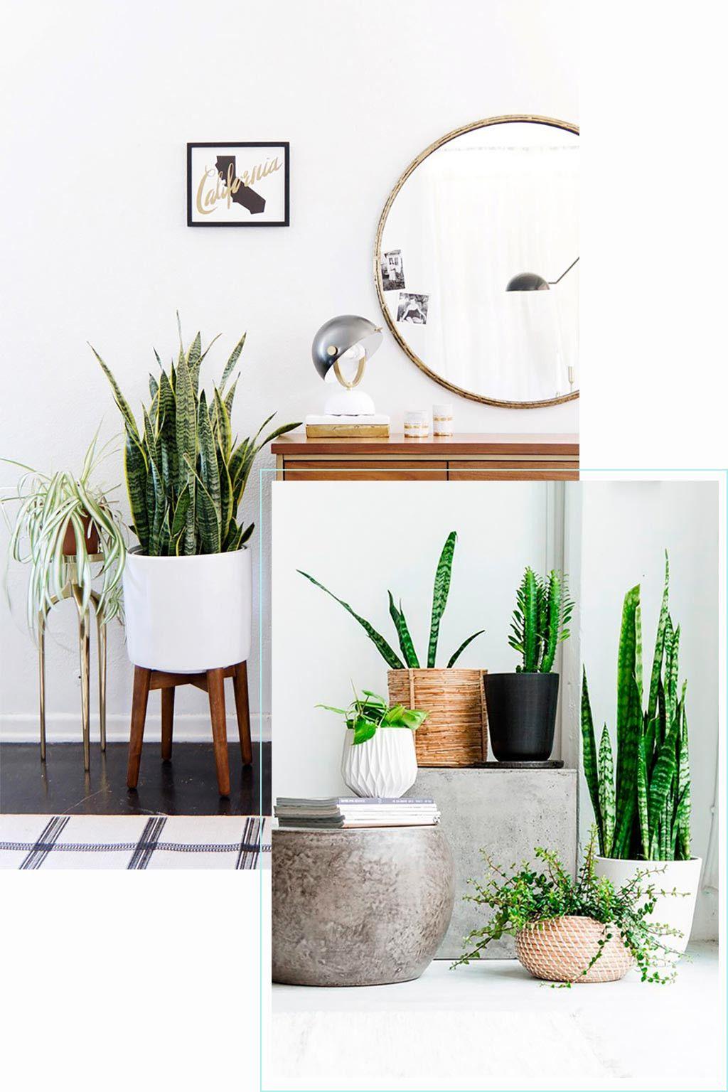 decoracion interiores con sansevieria