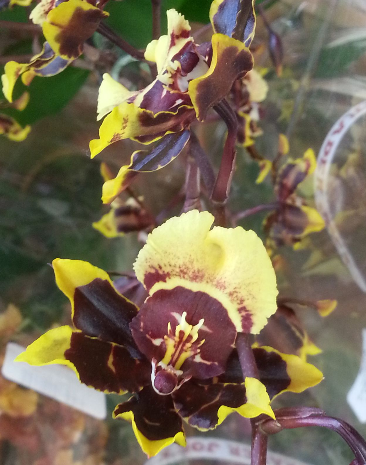 Chocolate and yellow colored orchid flowers chocolate yellow