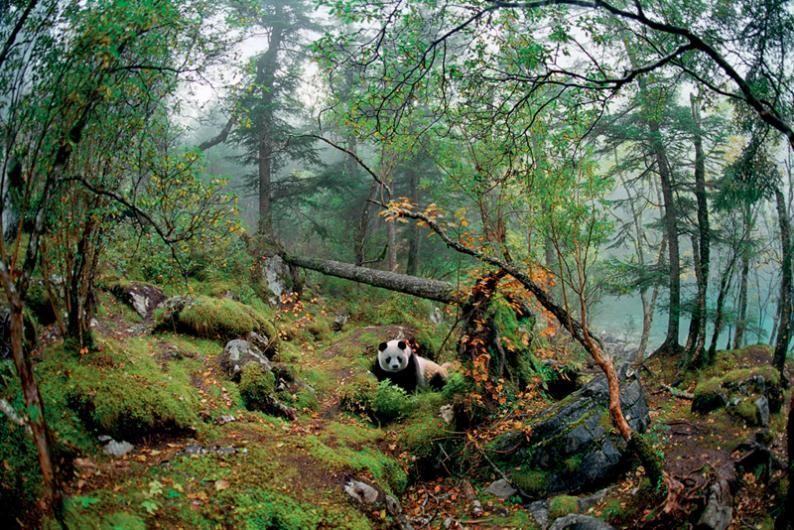 The Panda, or THE GIANT PANDA , Endangered , Panda on a l ...