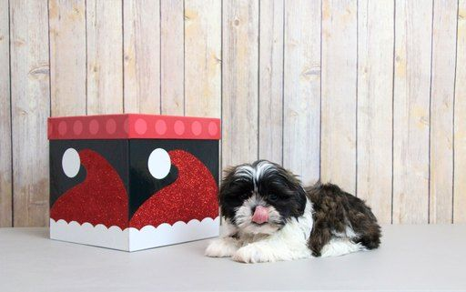 Shih Tzu Puppy For Sale In Portsmouth Oh Adn 56488 On