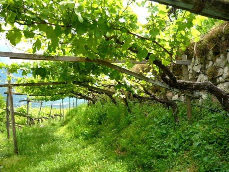Treille avec vigne faire une pergola ou une treille avec vignes pinterest - Faire sa pergola en bois ...
