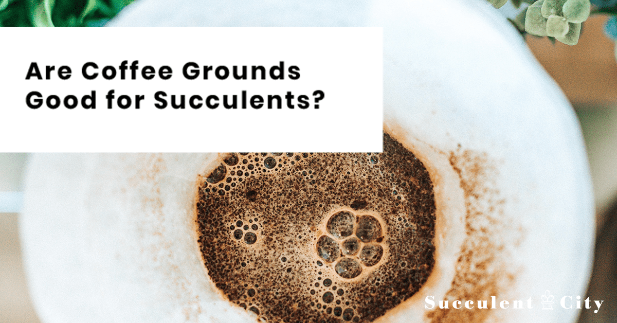 Are Coffee Grounds Good For Succulents Coffee Grounds Succulents Uses For Coffee Grounds