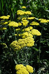 Click to view full-size photo of Moonshine Yarrow (Achillea 'Moonshine') at Wedel's Nursery, Florist and Garden Center