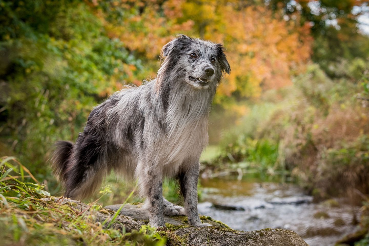 Berger Des Pyrenees Face Rase Purebred Dogs Pyrenean Shepherd Dogs