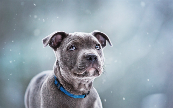 Download Wallpapers Staffordshire Bull Terrier Puppy Gray Dog Cute Animals Dogs Pets Staffordshire Bull Terrier Dog Besthqwallpapers Com Grey Dog Bull Terrier Dog Cute Animals
