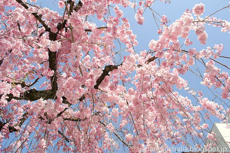 Shidare Zakura Cherry Blossoms