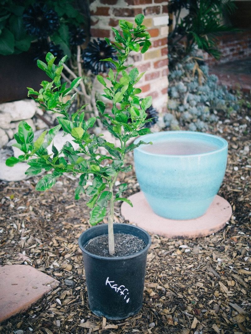 How To Grow A Citrus Tree In A Container Citrus Trees Citrus Plant Potted Trees