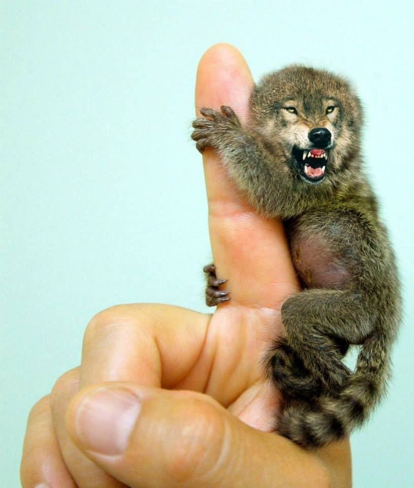 """""""Hybrid Animals"""" – Pygmy Marmowolf These Animals Got Manipulated On Photoshop, And It's Totally Hilarious • Page 5 of 5 • BoredBug"""