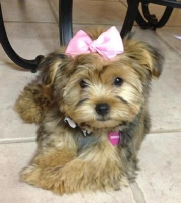 Sophie I Got My Female Morkie Puppy Sophie At 6 Weeks Old She Is 3 Months Now She Weighs 4 5 Lbs She Is A Be Morkie Puppies Morkie Yorkshire Terrier Puppies