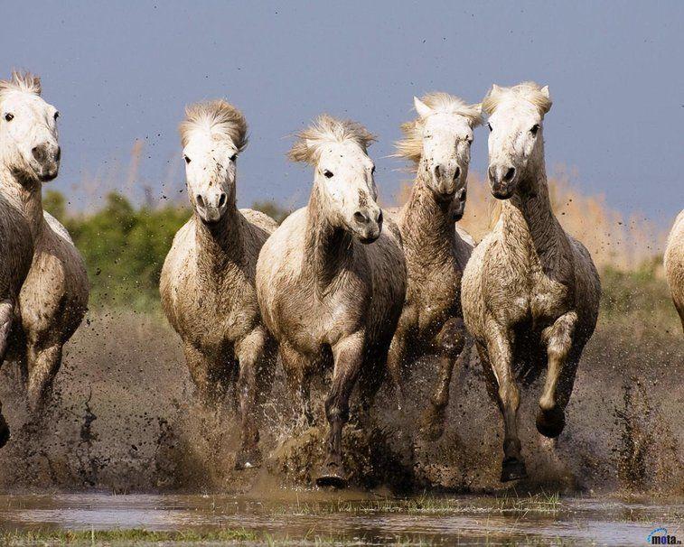 Resultado de imagen para caballos corriendo en manada en el agua