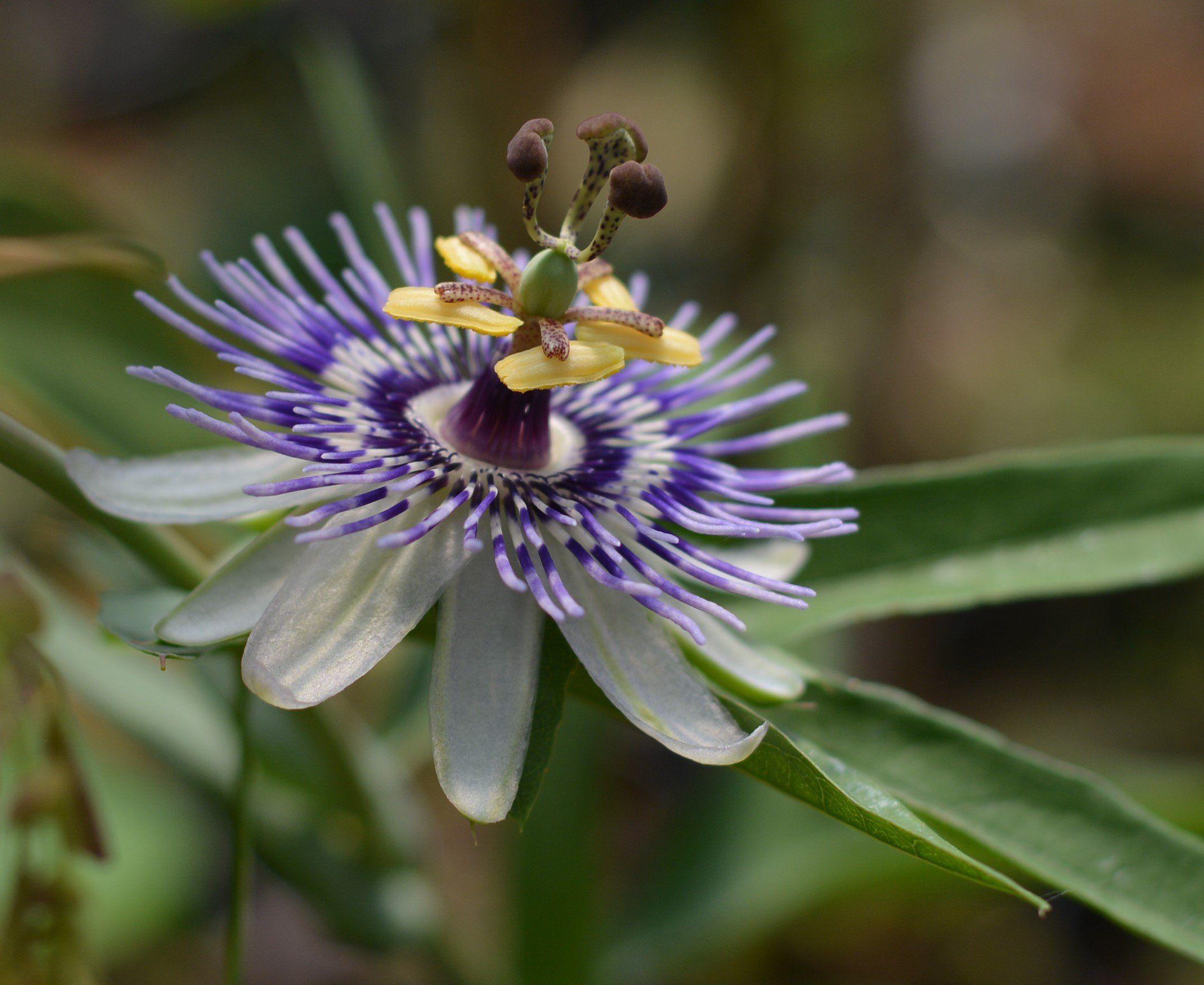 Passiflora Mooreana 4 Pot Fast Growing Vines Passion Flower Seeds