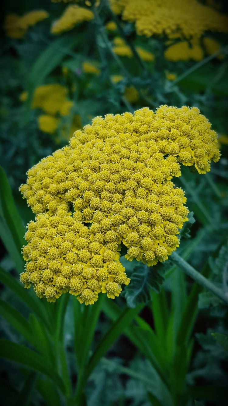 Yarrow Moonshine Is An Excellent Addition To The Landscape Or Garden It Has Bright Yellow Flowers In May And June And Soft Gray G Live Plants Plants Yarrow
