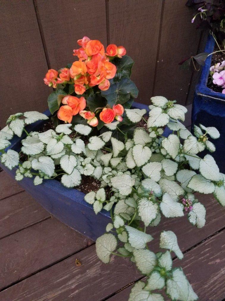 Rieger Begonia Begonia Hiemalis Home Depot Red Nancy Lamium Maculatum Garden Pots Begonia Plants