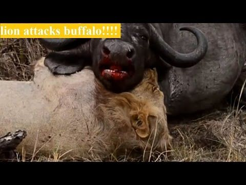 animals documentary-wild animals attacks video compilation, most amazing...