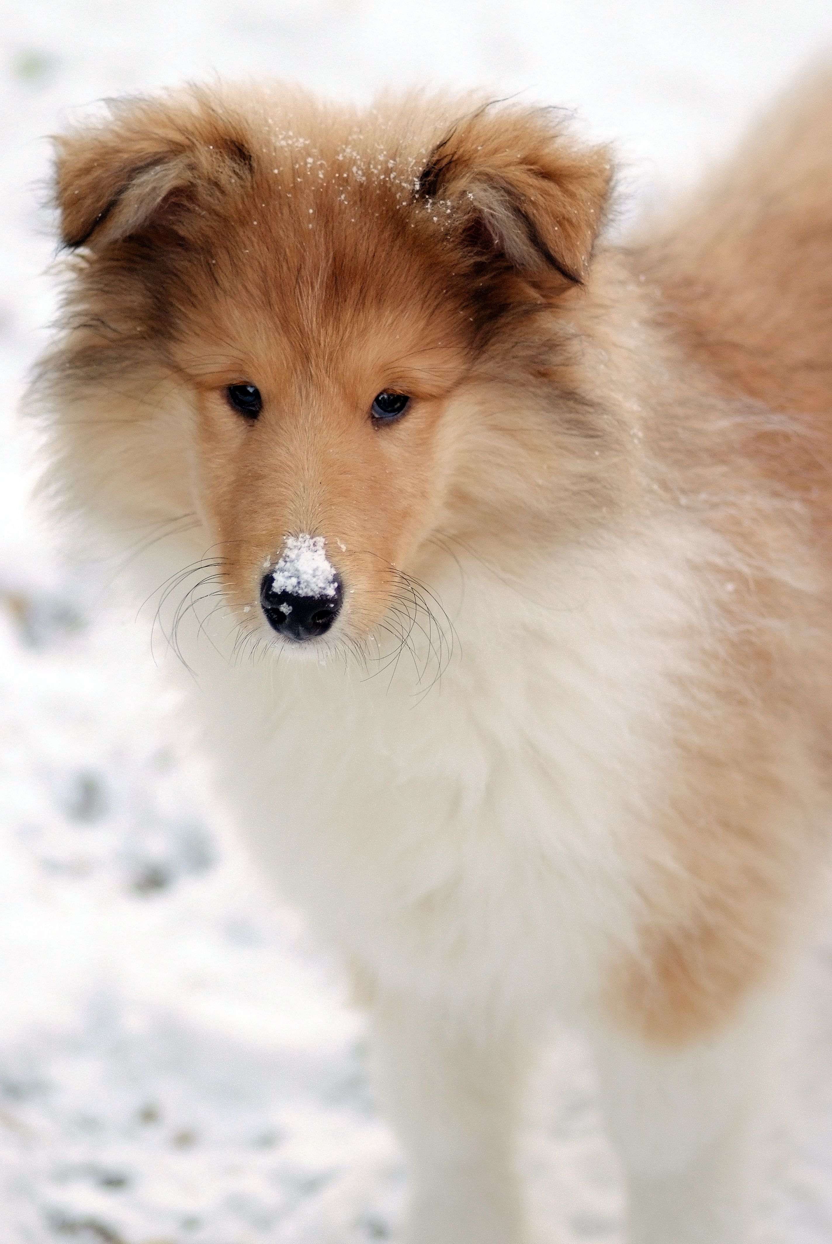 Poppy The Rough Collie In The Snow Rough Collie Pet Dogs