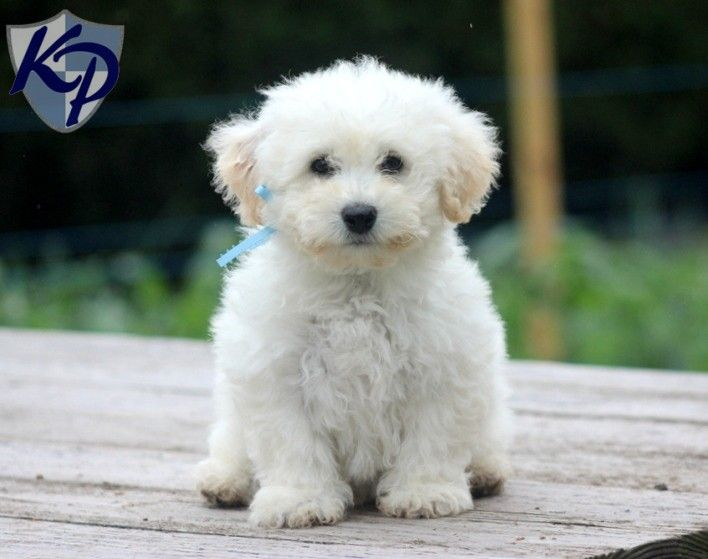 Puppy Finder Find Buy A Dog Today By Using Our Petfinder With Images Bichon Frise Bichon Frise Rescue Bichon