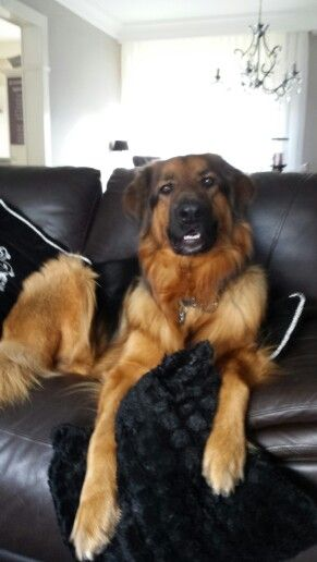 German Shepherd X Bernese Mountain Dog With Images Bernese