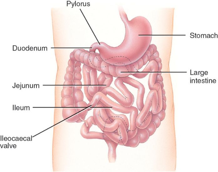 Ileum Diagram Choice Image - Diagram of internal organs