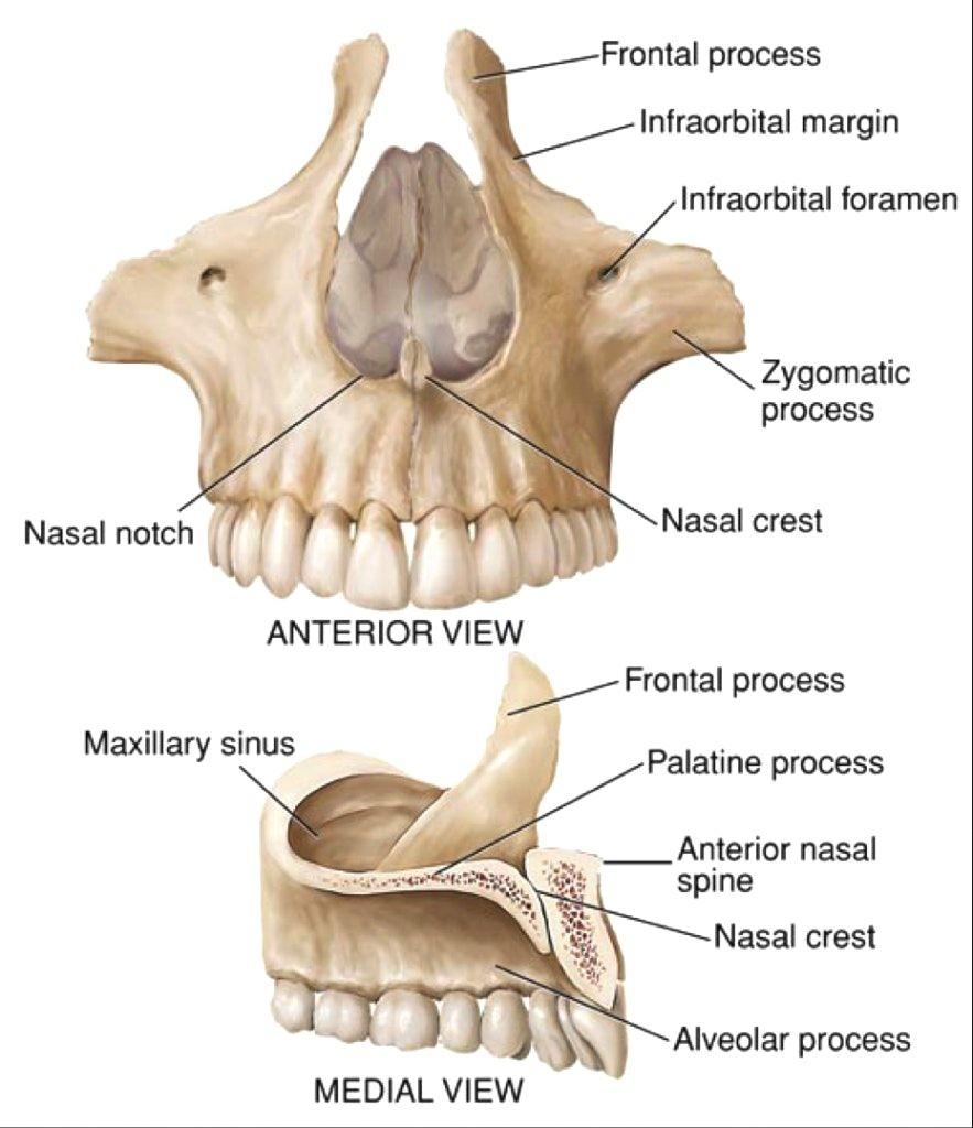 Maxilla Bone : Palatine process; Alveolar process | Sciences | Pinterest