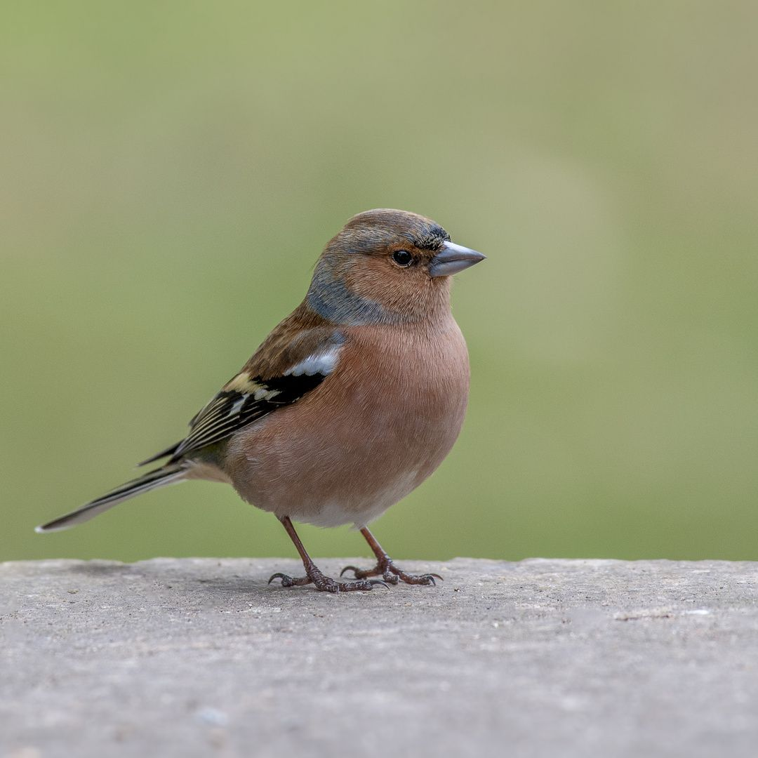 Herr Buchfink Foto Bild Natur Vogel Wildlife Bilder Auf