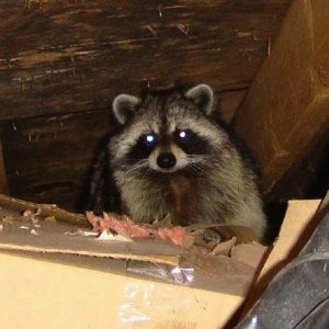 Unsound Sounds 7 Noises You Don T Want To Hear From Your House Rodent Control Raccoon Repellent Raccoon