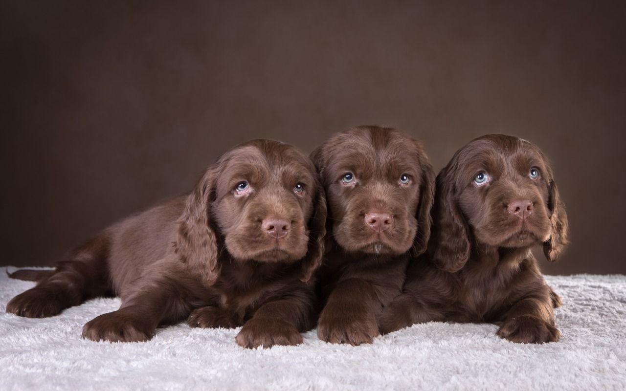 Обои спаниель, шоколадный, щенки. Собаки foto 6