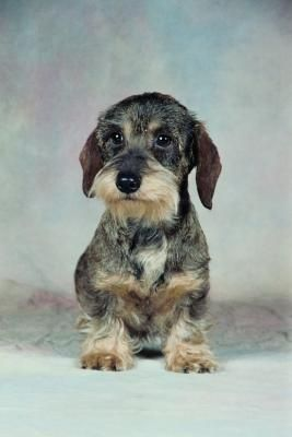 Do Dachshund Dogs Shed Wire Haired Dachshund Dachshund Breed