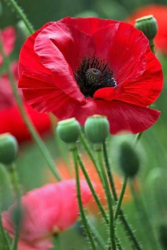 Red Poppy For My Poppy On His Heavenly Birthday Blumen Anbauen Mohn Rot