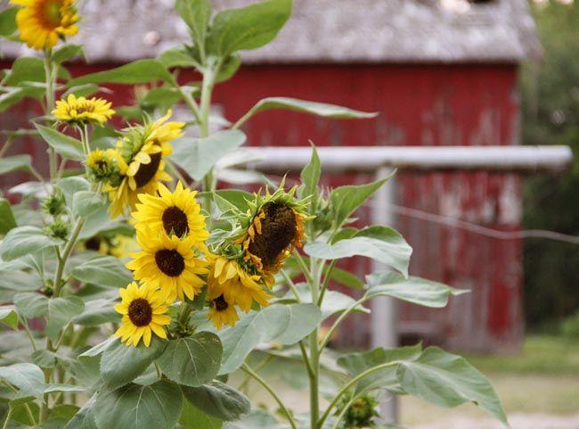 {sunflower love}