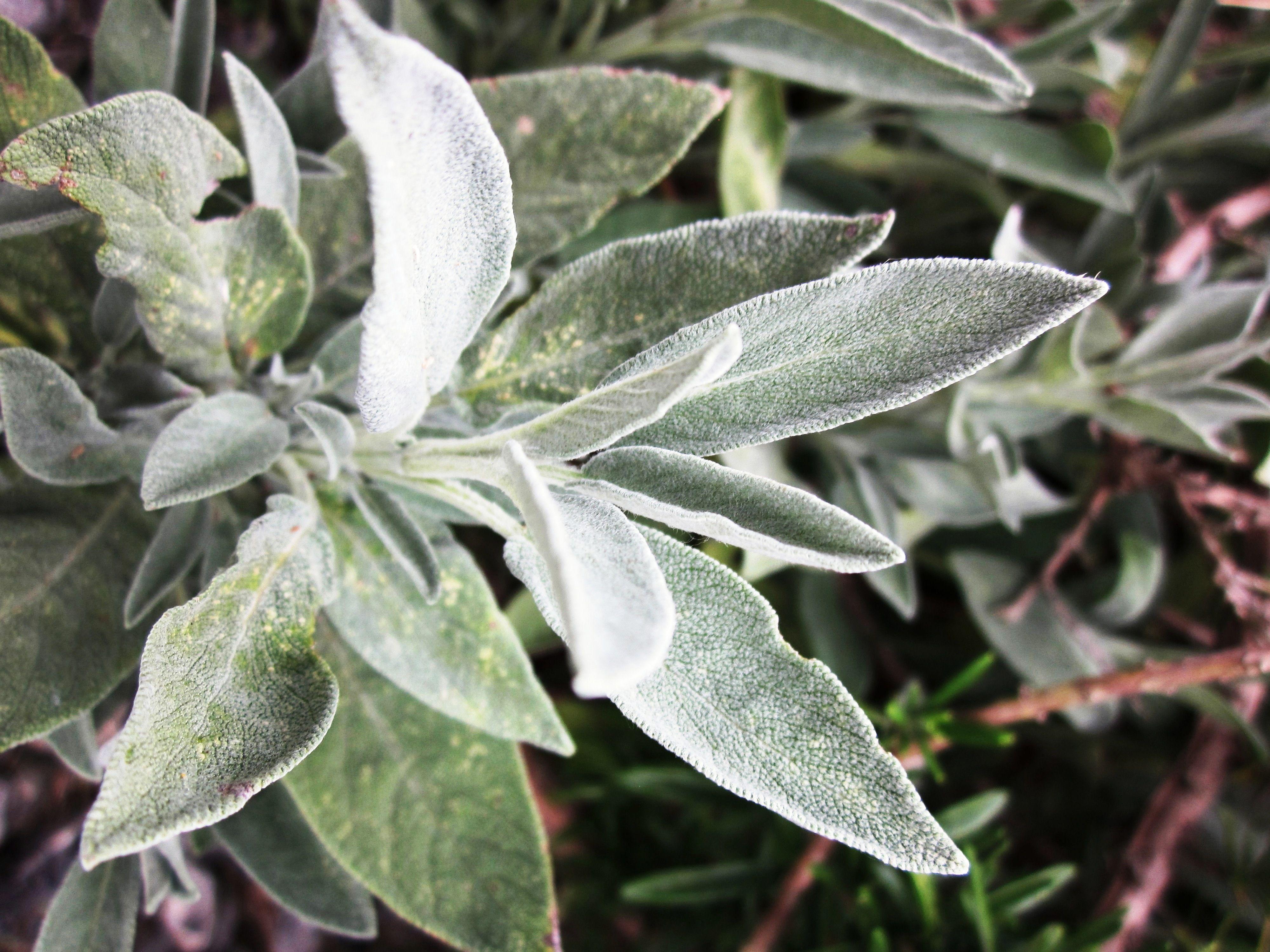 Wild Sage Stonehenge Aoteroa Natural Herbs Sage