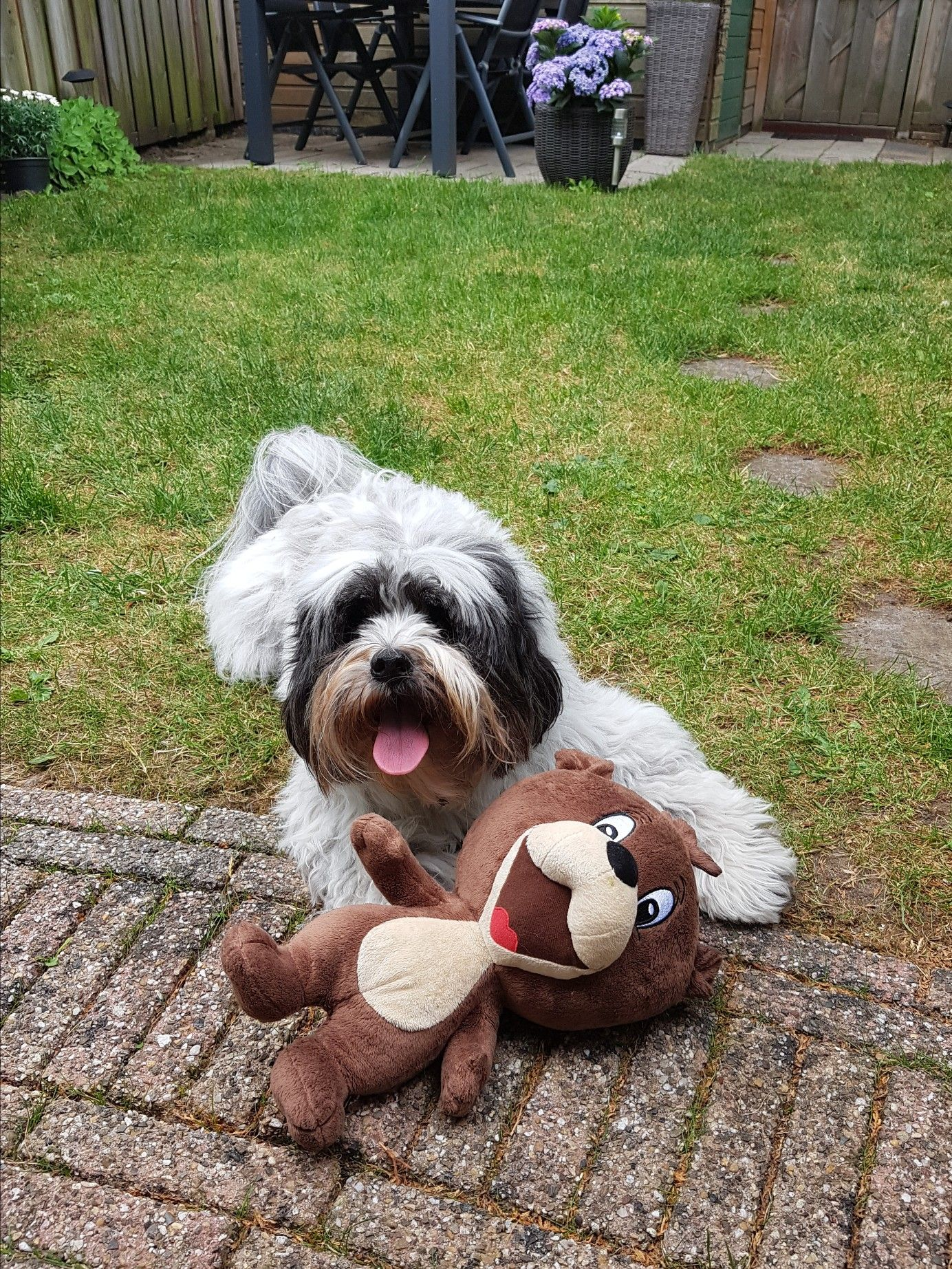 My sweet Tibetan Terrier Lady and her bear Lhasa apso