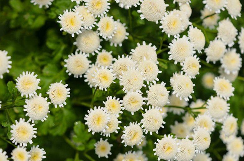 Tanacetum Parthenium Feverfew In 2020 Feverfew Plant Plants White Perennial Flowers