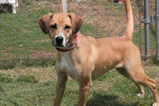 Ava: Beautiful hound, heartworm negative, is out of time at high-kill SC shelter