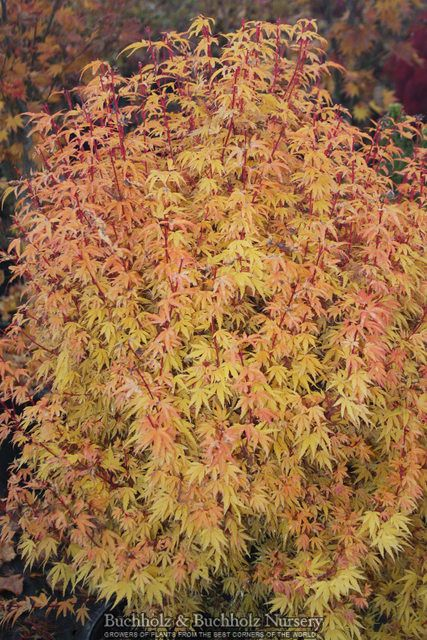 Acer Palmatum Little Sango A Dwarf Colored Bark Anese Maple Tree With An Upright Form Foliage Is Light Green In Spring And Sum