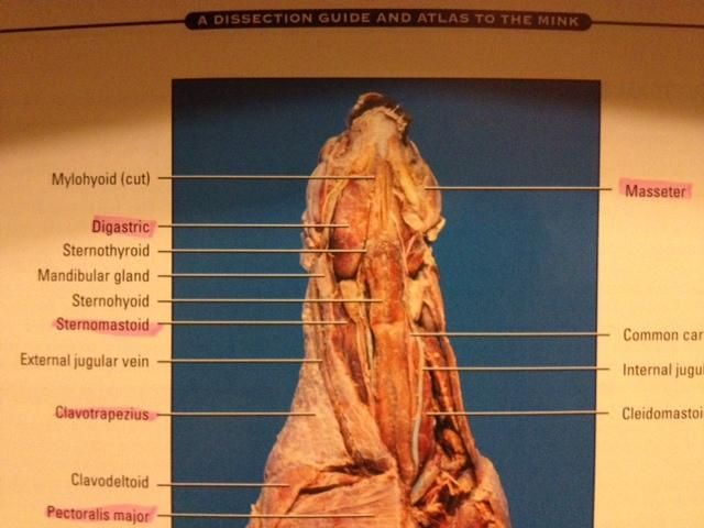 pin by ally sullivan on mink anatomy pinterest mink rh pinterest com Mink Dissection Guide Thoracic Cavity Mink Dissection Muscles Labeled