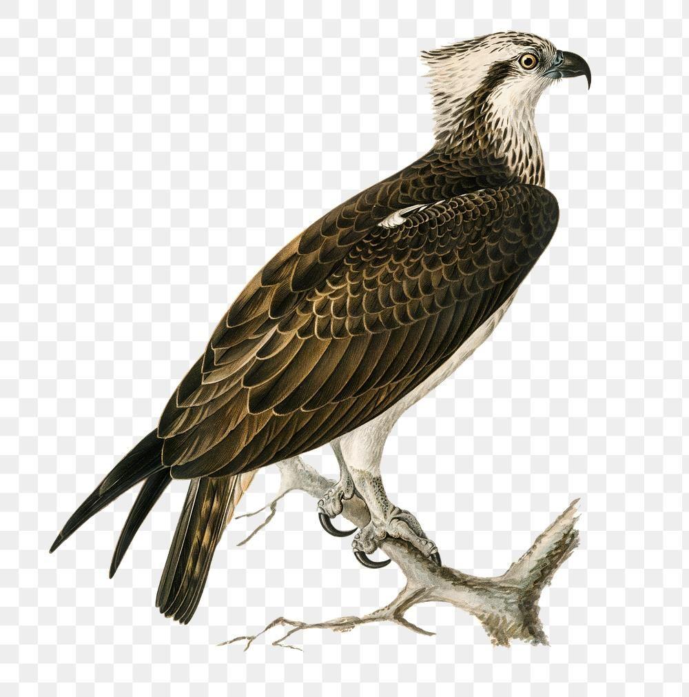 Download Premium Png Of Png Sticker Osprey Bird Hand Drawn 2627825 Osprey Bird Bird How To Draw Hands