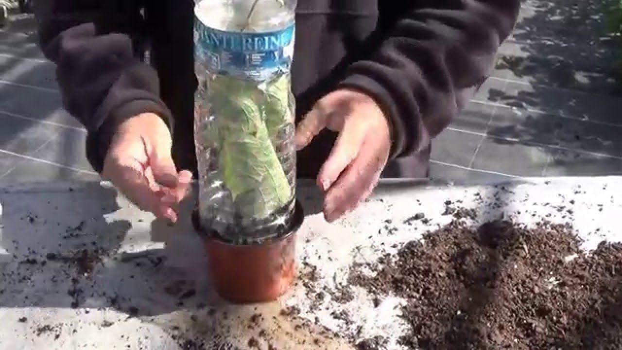 jardinage bouture de kiwi actinidia un pied m le 2 pieds femelles jardinage pinterest. Black Bedroom Furniture Sets. Home Design Ideas