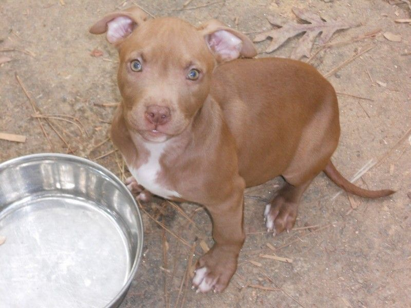 Tips On How To Care For Your Red Nose Pitbull Puppies Pitbulls