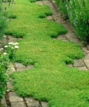 Loopkamille goeie vervanger voor het gazon in de voortuin for Tuinontwerp eetbare tuin