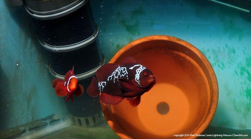 Lightning Maroon Clownfish Lightning Clown Fish Projects