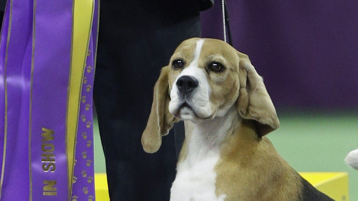 Westminster Dog Show 2015 The Beagle Miss P Is Named Best In Show