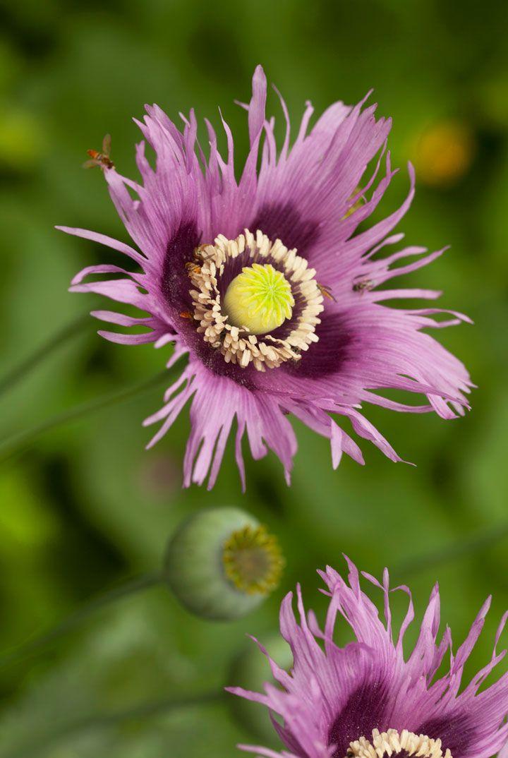 Fringed Poppy Papaver Sommniferum Blumen Mohnblume Und Mohn