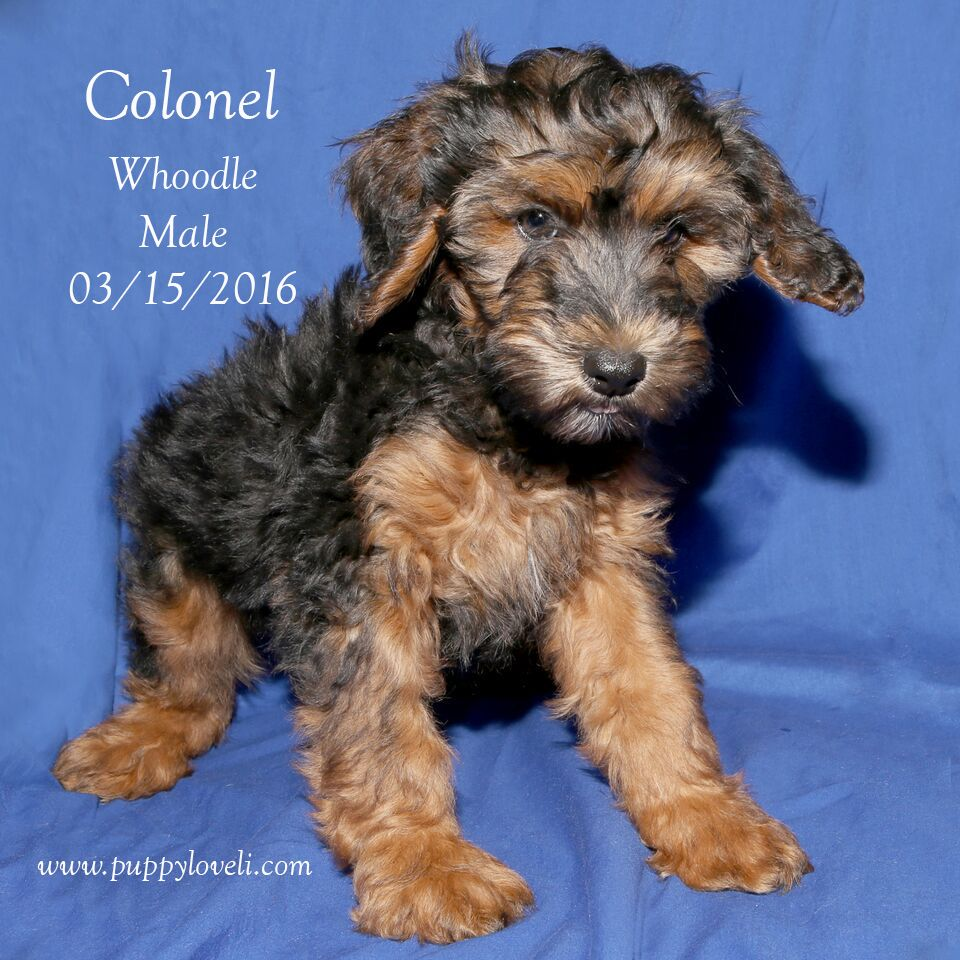 Colonel is a male Whoodle born on 03/15/2016 Graphic