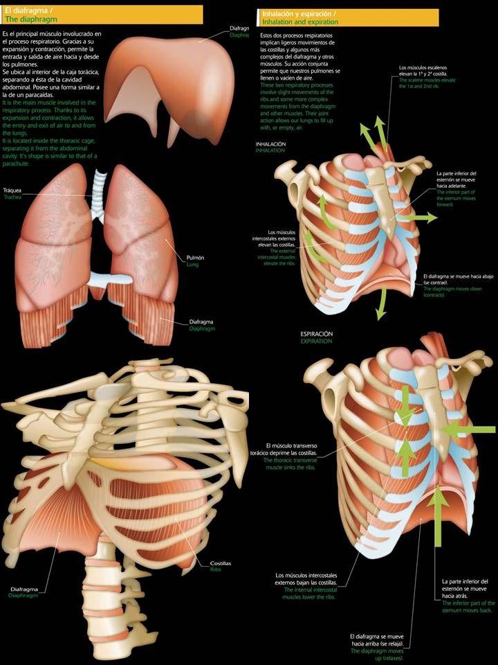 Imagen | Logopedia (imágenes) | Pinterest | Respiratorio, Logopedia ...